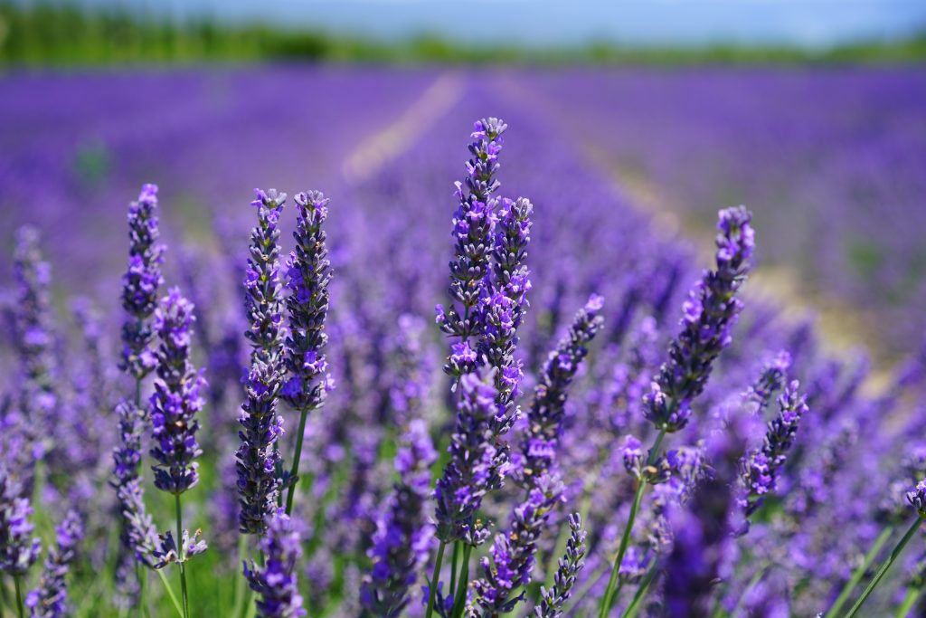 lavender better sleep relaxation